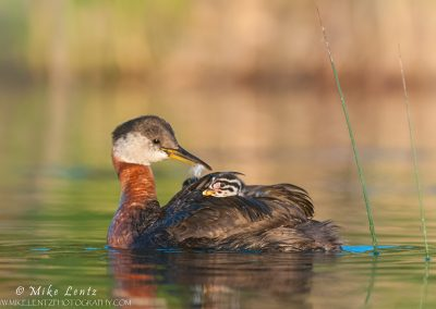 Red-necked grebe with baby