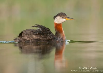 Red-Necked Grebe on complete glassy waters