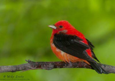 Scarlet Tanager portrait.jpg