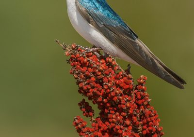 Tree Swallow verticle on sumac