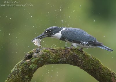 Belted Kingfisher slams sunfish