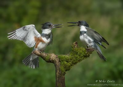 Belted Kingfisher male and female