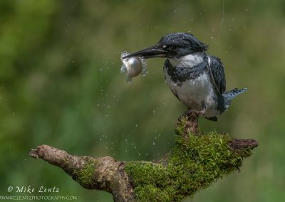 Belted Kingfisher with fish and flying droplets