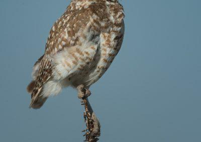 Burrowing Owl on Mullien
