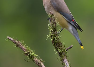 Cedar Waxwing on mossy perch
