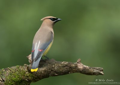 Cedar Waxwing on wooden perch