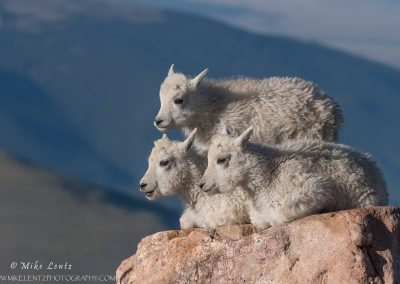 Mountain Goat Babies