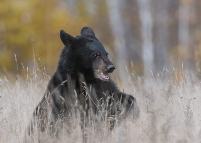 Black Bear in fall field