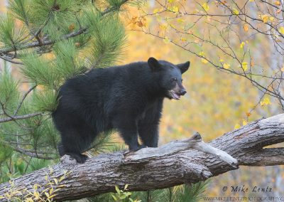 Black bear on tree limb in autumn