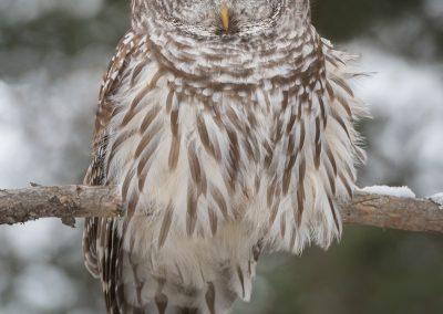 Barred Owl in winter