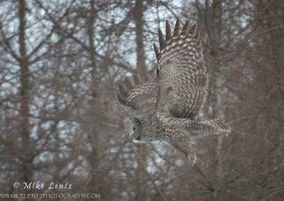 Great Gray Owl flight amongst trees