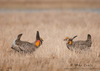 Prairie chicken stare down